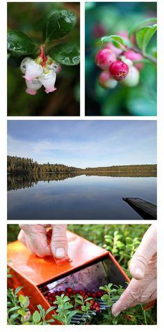 Lingonberry in Småland, Sweden