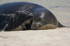 Mother monk seals use the beach for pupping.