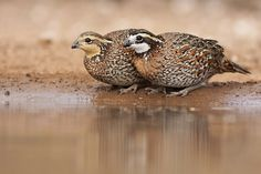 Northern Bobwhite Quail couple - I never get to see these lovelies but I am fortunate enough to hear them often. :)