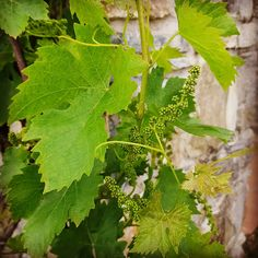Podere Conti, Tuscany. Vines climbing over the guest room terraces at our luxury agriturismo in the foothills of Lunigiana. Reservations info@podereconti.com / +39 3482681830 organicholidays.com/at/3293.htm Terraces, Bed And Breakfast, Tuscany, Guest Room, Climbing, Vines, Herbs, Organic, Luxury