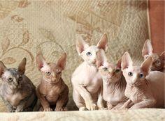 Hairless cats.