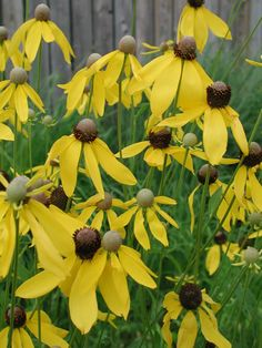 Ratibida pinnata (Yellow Coneflower) --full sun to part shade, med to dry-medium soil --blooms july-sept