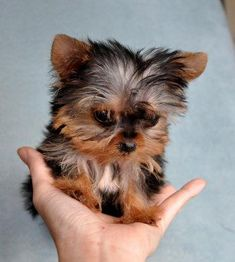 Google Image Result for http://images02.olx.com/ui/4/16/39/1267680852_77940739_3-available-all-year-7135159164-yorkies-maltese-bulldogs-soon-spanish-espanol-prices-Animals.jpg