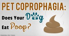 Coprophagia is the scientific term for poop or stool eating, which is considered an abnormal pet behavior. http://healthypets.mercola.com/sites/healthypets/archive/2013/08/23/coprophagia-poop-eating.aspx