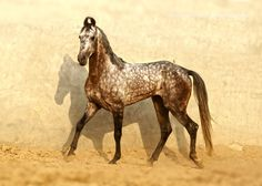 """Marwari Horse (Photograph) 
