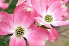 Flowering dogwood Cornus florida 'f. rubra'
