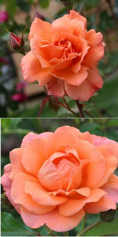 """~""""WESTERLAND"""" - Large, well formed 5"""" bloom (petals 20-25) of apricot, copper-orange; bushy shrub rose with vigorous, upright, continuous blooms with bronze-green foliage. Marvelous fragrance. Repeat blooming; Very winter hardy. Zones 5-107' X 6' Cl 10'; Semi-Double; SHADE TOLERANT. Characteristics Cutting, Hips, Shade -- vma."""