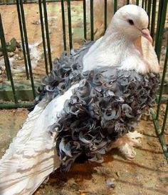 Frillback is a breed of fancy pigeons known for the frill or curls on the wing shield feathers.
