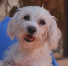 Antigone is a social butterfly and thrilled to be with people and dogs as much as possible.  She is a Maltese & Terrier mix, about 5 years of age and spayed, and debuting for adoption today at Nevada SPCA (www.nevadaspca.org).  Antigone requires a home where no small objects are left on the floor that she can find and swallow.  Please visit and ask for Antigone by name.