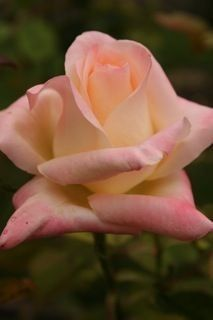 Diana Princess of Wales hybrid tea rose Most Beautiful Flowers, All Flowers, My Flower, Pretty Flowers, Types Of Roses, Rose Pictures, Growing Roses, Coming Up Roses, Tulips