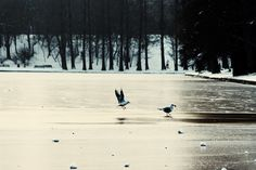 Frozen lake and the seagulls searching for food. Bucharest Romania, Bald Eagle, Searching, Frozen, Beach, Places, Water, Animals, Outdoor