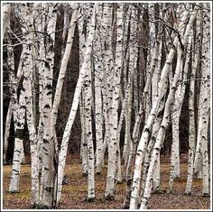 white birch White Birch Trees, Birch Forest, See True, Birches, Forest Creatures, Tree Seeds, White Gardens, To Color, Cauldron