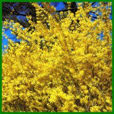 Forsythie, ein leuchtender Frühlingsbote.  Forsythien sind aufrecht oder leicht überhängend wachsende Sträucher, die überall an ihren verzweigten Ästen zahlreiche goldgelbe Blüten hervorbringen.  http://www.gartenschlumpf.de/forsythie/