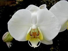 Phalaenopsis Philippinensis | Phalaenopsis philippinensis Golamco ex Fowlie & C.Z.Tang