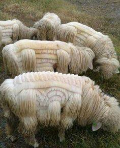Sheep shearing as art