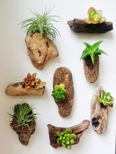 Unique and authentic Pacific driftwood selectively collected off the beaches of Cardiff-by-the-Sea, California and handcrafted into mini wood and succulent sculpture/magnets. The set includes one air plant (Tillandsia) and three native California succulents. Typical size of driftwood: