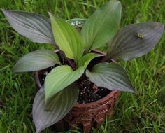 NEW! First RED-leaved hosta! Hosta 'First Blush' in Limited Quantity!