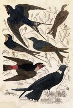 Bird art -- 1835 hand-colored engraving of various swallow species