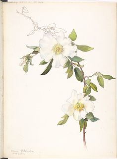 White Clematis (1911).  Watercolour and brown ink by Margaret Neilson Armstrong (American,1867–1944) .  Image and text courtesy The Met.