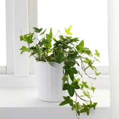 English Ivy Plant Care Tips Hedera Helix, Ivy Plants, Cool Plants, Potted Plants, Cactus Plants, Hanging Plants, English Ivy Indoor, English Ivy Plant, Ikea