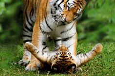 Tiger mother playing with her lovely tiger baby - mobile9. Download as your phone wallpaper!