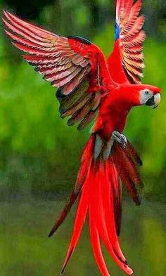 Red Parrot in Flight