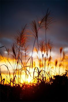 For amber waves of grain.....