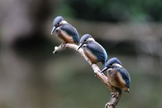 Synchronized ! , Kingfisher Babies by Mubi.A