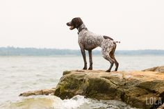 german-shorthair-pointer-dogs