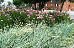 Blue Lyme Grass (Leymus arenarius 'Blue Dune') combines beautifully with another water-wise plant, Purple Coneflower.