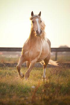 ☀Criollo Rubio by equine-images.deviantart.com on @deviantART