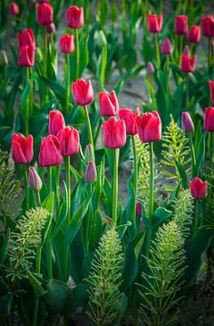 The beauty of #spring! www.digiwriting.com - Tulip fields