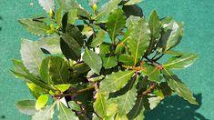 Bobkový list (Laurus nobilis) nebo také vavřín ušlechtilý pochází z Malé Asie, odkud se dostal do Středozemí. V našich podmínkách se pěstuje spíše v nádobách, protože v zimě by mohl vymrznout. Laurus Nobilis, Balcony Garden, Indoor Plants, Bonsai, Beautiful Flowers, Plant Leaves, Flora, Gardening, Balcony