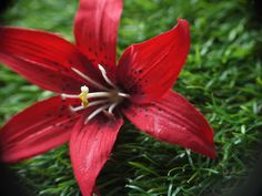 Haarnadel, Haarschmuck,  Lilie, rot, Blüte von GeschmeideZauber auf DaWanda.com