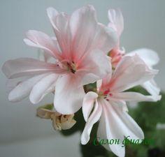 Bildresultat för honeywood suzanne pelargon