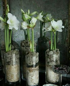 amaryllis by Heather Christo Amaryllis Plant, Amaryllis Bulbs, Garden Bulbs, Planting Bulbs, Christmas Flowers, Winter Flowers, Bulb Flowers, Flower Pots, Deco Dyi