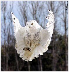 ITAP of a snowy owl landing. Owl Photos, Owl Pictures, Draw On Photos, Exotic Birds, Colorful Birds, Bald Eagle Barns, Bird Barn, Barn Owls, North American Animals
