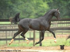 Oldenburg horses are great at jumping and dressage, and can also be called the Oldenburger. It is considered a warm-blood horse, and has elastic like gaits that are very rhythmatic. oldenburg horse - Google Search