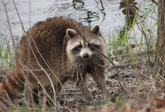 An Introduction to Trapping: Becoming a competent trapper will take some time, but you've got to start somewhere to start nabbing critters like raccoons.