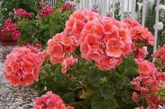 Muscate cu flori bogate - Trucuri de la florari profesionisti