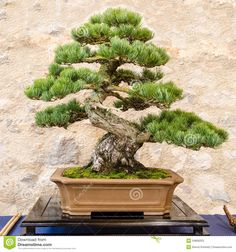 Japanese five needle pine (Pinus parvifolia) as bonsai tree in a pot.