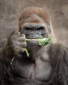 Someone here doesnt like vegetables Tag someone whos like this .For more wild photos us nature. Wildlife Nature, Nature Animals, Wild Animals, Wildlife Photography, Animal Photography, Funny Animals, Cute Animals, Baby Animals, San Diego Zoo