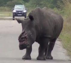 Horrific Video of dehorned rhino