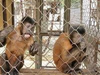 """""""O Grito do Bicho"""": Estudo sobre o comportamento de macacos pode ajuda..."""