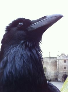 Merlin, resident raven at the Tower of London