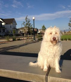 2016 Dogs of Stapleton calendar submission - Sequoia #dogsofstapleton #dogsofstapletoncalendar2016