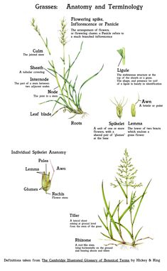 Grass: An introduction - Lizzie Harper Plant Science, Science Biology, Mediterranean Plants, Parts Of A Flower, Perfect Plants, Outdoor School, Botanical Drawings, Urban Farming, Botany