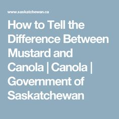How to Tell the Difference Between Mustard and Canola | Canola | Government of Saskatchewan