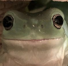 Cute Little Animals, Cute Funny Animals, Baby Animals, Whites Tree Frog, Frog Wallpaper, Pet Frogs, Frog Pictures, Cute Reptiles, Frog Art