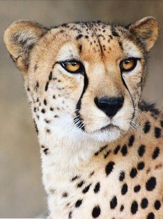 Cheetah: It's as fast as 109.4 to 120.7 km/h. Small head, and thin body, but yet tall and long. An animal built to run like the wind.